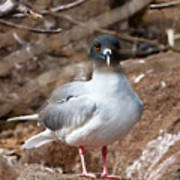 Swallow-tail Gull Poster