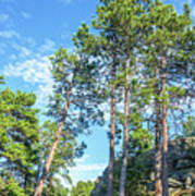 Tall Pine Trees Poster