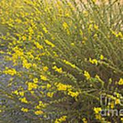 Tarweed Flowering Poster