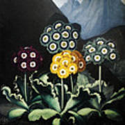 Thornton: Auriculas Poster