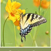 Tiger Swallowtail Butterfly On Cosmos Flower Poster
