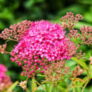 Tiny Pink Spirea Flowers Poster