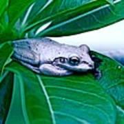 Tree Frog On Desert Rose  Poster