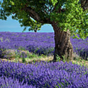 Tree In Lavender Poster