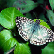 Tropical Checkered Skipper Poster by Thomas R Fletcher
