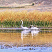 Tranquil Trumpeter Swans Poster