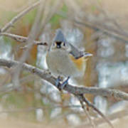 Tufted Titmouse - Baeolophus Bicolor Poster