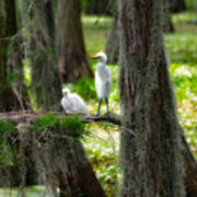Two Baby Great Egrets And Nest Poster