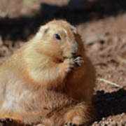 Very Large Overweight Prairie Dog Sitting In Dirt Poster