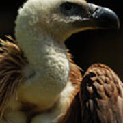 Vulture. Gyps Fulvus Poster