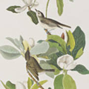 Warbling Flycatcher Poster