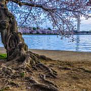 Washington Monument Cherry Blossoms Poster