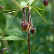 Water Avens Poster