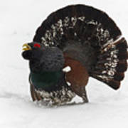 Western Capercaillie Poster