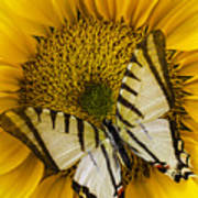 White Butterfly On Sunflower Poster