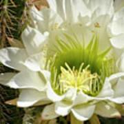 White Cactus Flower Poster