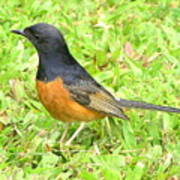 White-rumped Shama Poster
