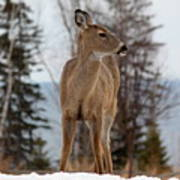 White-tailed Deer Three Poster