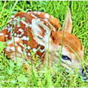 White-tailed. Virginia Deer Fawn Poster