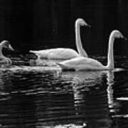 Whooper Swan Family Poster