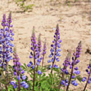 Wild Lupine Flowers Poster
