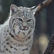Wild Lynx Cat Poster