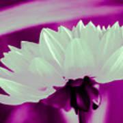 White Chrysanthemum Poster