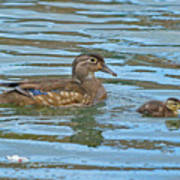 Wood Duck And Baby Poster
