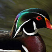 Wood Duck At Beaver Lake Stanley Park Vancouver Canada Poster by Pierre Leclerc Photography
