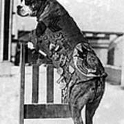 Wwi, Sergeant Stubby, American War Dog Poster