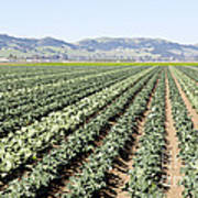 Young Broccoli Field For Seed Production Poster