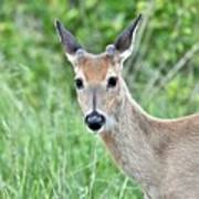 Young White-tailed Buck In Velvet Poster