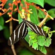 Zebra Longwing On Firebush  Poster