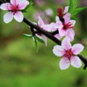 Blossoming Peach Flowers  Closeup Poster