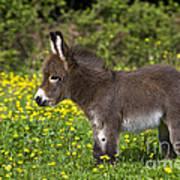 Miniature Donkey Foal Poster