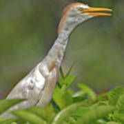 11- Cattle Egret Poster