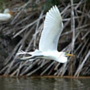 Great Egret Building A Nest Poster