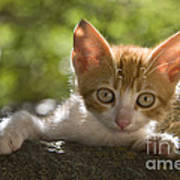 Kitten On A Wall Poster