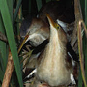 Least Bitterns On Nest Poster