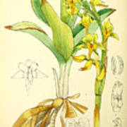 Illustrations Of The Flowering Plants And Ferns Of The Falkland Islands Poster