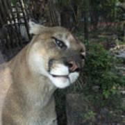 1153 - Mountain Lion Poster