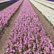 Hyacinths Fields Poster
