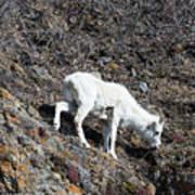 Dahl Sheep, Turnigan Arm Poster