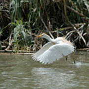 Cattle Egret Cooling Off In The Lake Poster