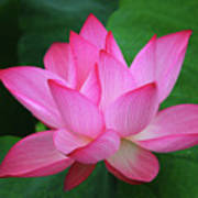 Blossoming Lotus Flower Closeup Poster
