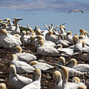 Gannet Colony Poster
