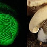 Luminescent Mushroom, Panellus Stipticus Poster