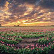 180 Degree View Of Sunrise Over Tulip Field Poster