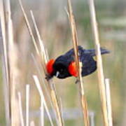 1911 - Red-winged Blackbird Poster