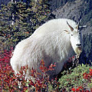 1m4900 Mountain Goat Near Mt. St. Helens Poster